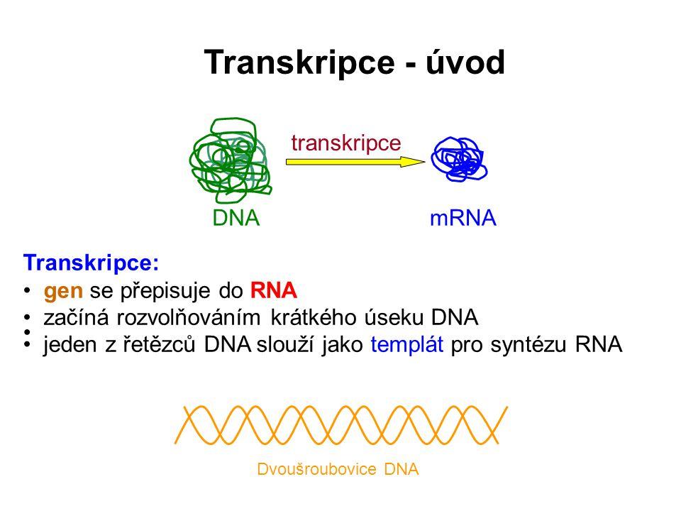 Transkripce: • gen se přepisuje do RNA • začíná rozvolňováním krátkého úseku DNA • jeden z řetězců DNA slouží jako templát pro syntézu RNA • transkrip