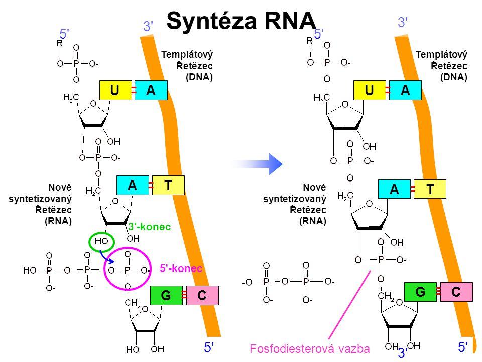 3'-konec 5'-konec A GC U TA Templátový Řetězec (DNA) Nově syntetizovaný Řetězec (RNA) 5' 3' 5' A GC U TA 3' Templátový Řetězec (DNA) Nově syntetizovan