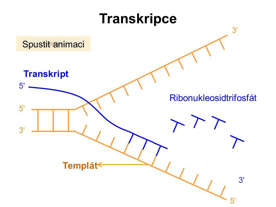 Templát Transkript Ribonukleosidtrifosfát Spustit animaci Transkripce 5' 3' 5' 3' 5'