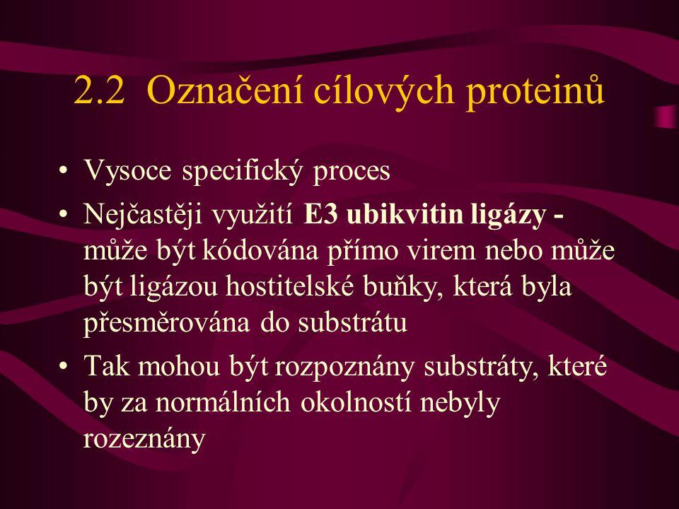 2.2 Označení cílových proteinů •Vysoce specifický proces •Nejčastěji využití E3 ubikvitin ligázy - může být kódována přímo virem nebo může být ligázou hostitelské buňky, která byla přesměrována do substrátu •Tak mohou být rozpoznány substráty, které by za normálních okolností nebyly rozeznány