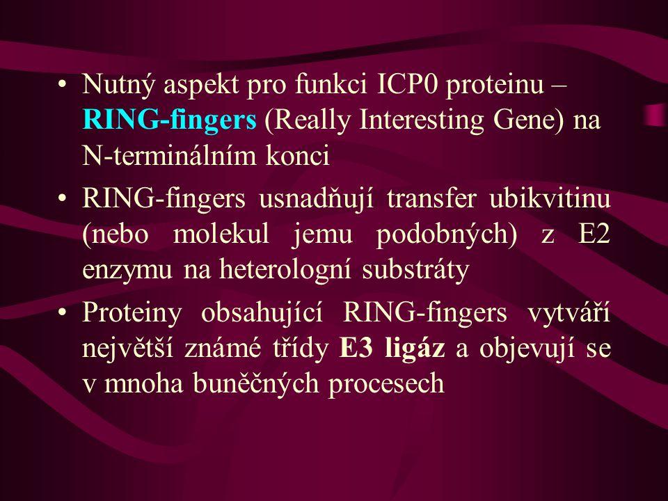 •Nutný aspekt pro funkci ICP0 proteinu – RING-fingers (Really Interesting Gene) na N-terminálním konci •RING-fingers usnadňují transfer ubikvitinu (nebo molekul jemu podobných) z E2 enzymu na heterologní substráty •Proteiny obsahující RING-fingers vytváří největší známé třídy E3 ligáz a objevují se v mnoha buněčných procesech