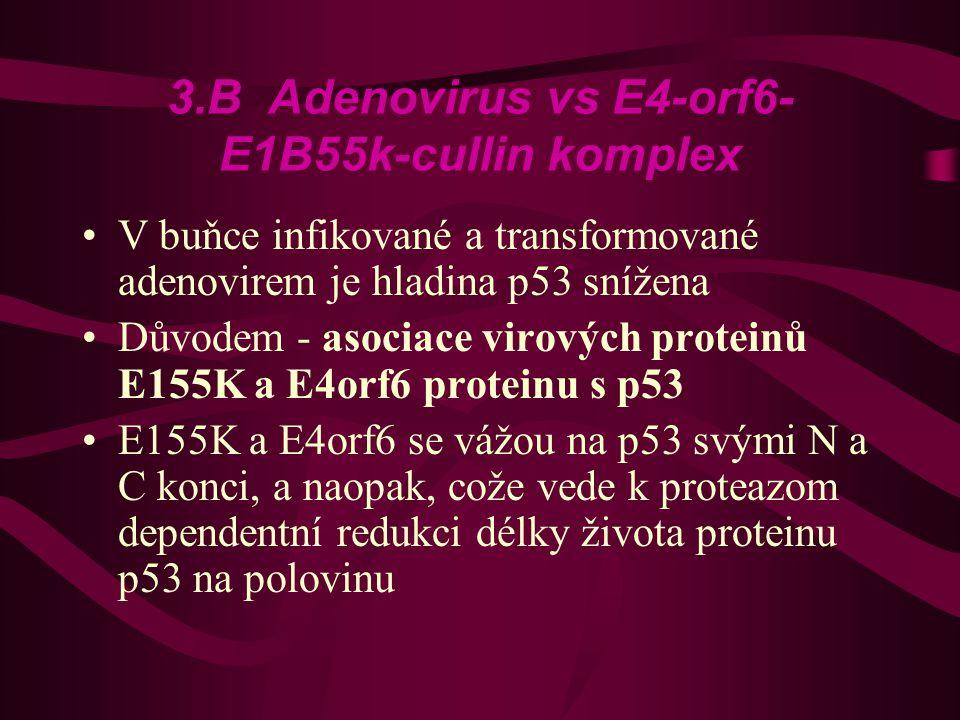 3.B Adenovirus vs E4-orf6- E1B55k-cullin komplex •V buňce infikované a transformované adenovirem je hladina p53 snížena •Důvodem - asociace virových proteinů E155K a E4orf6 proteinu s p53 •E155K a E4orf6 se vážou na p53 svými N a C konci, a naopak, cože vede k proteazom dependentní redukci délky života proteinu p53 na polovinu