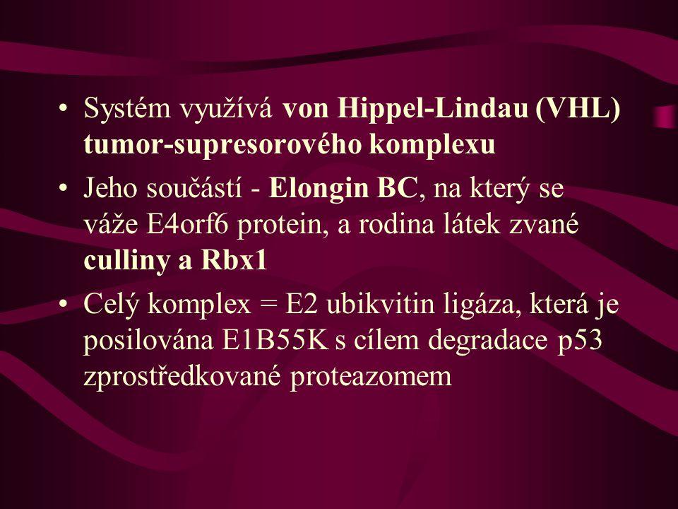 •Systém využívá von Hippel-Lindau (VHL) tumor-supresorového komplexu •Jeho součástí - Elongin BC, na který se váže E4orf6 protein, a rodina látek zvané culliny a Rbx1 •Celý komplex = E2 ubikvitin ligáza, která je posilována E1B55K s cílem degradace p53 zprostředkované proteazomem