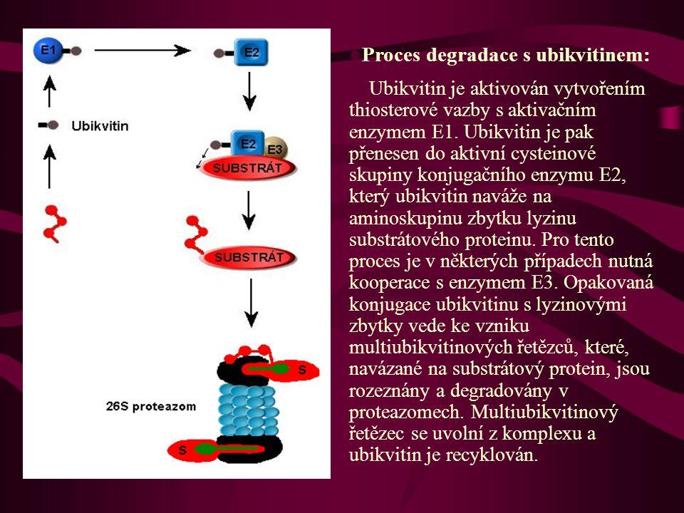  Proces degradace s ubikvitinem: Ubikvitin je aktivován vytvořením thiosterové vazby s aktivačním enzymem E1.