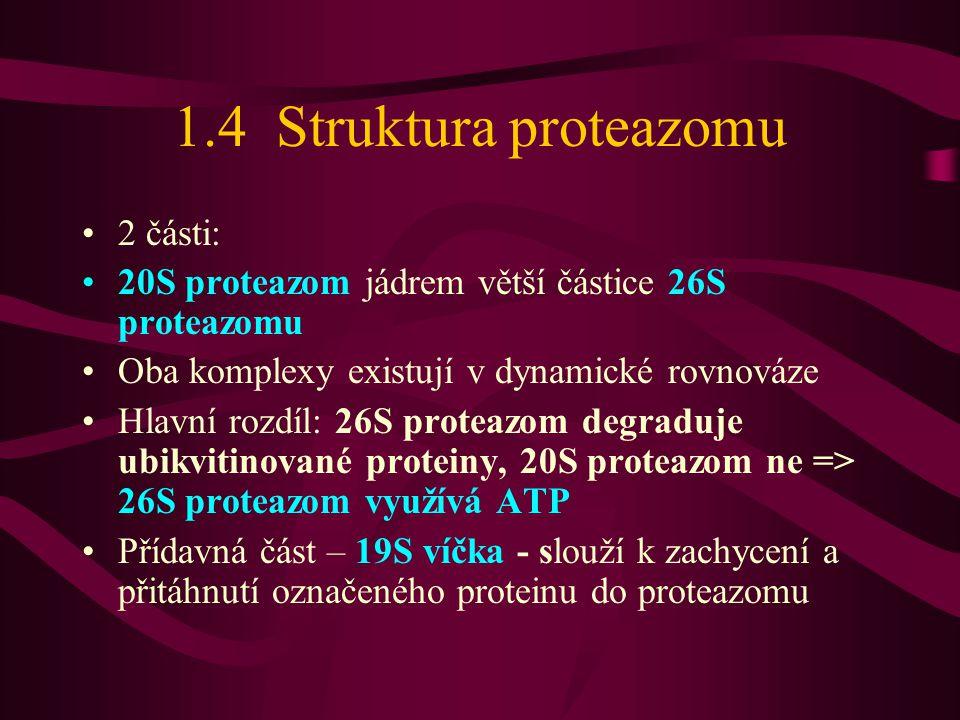 1.4 Struktura proteazomu •2 části: •20S proteazom jádrem větší částice 26S proteazomu •Oba komplexy existují v dynamické rovnováze •Hlavní rozdíl: 26S proteazom degraduje ubikvitinované proteiny, 20S proteazom ne => 26S proteazom využívá ATP •Přídavná část – 19S víčka - slouží k zachycení a přitáhnutí označeného proteinu do proteazomu