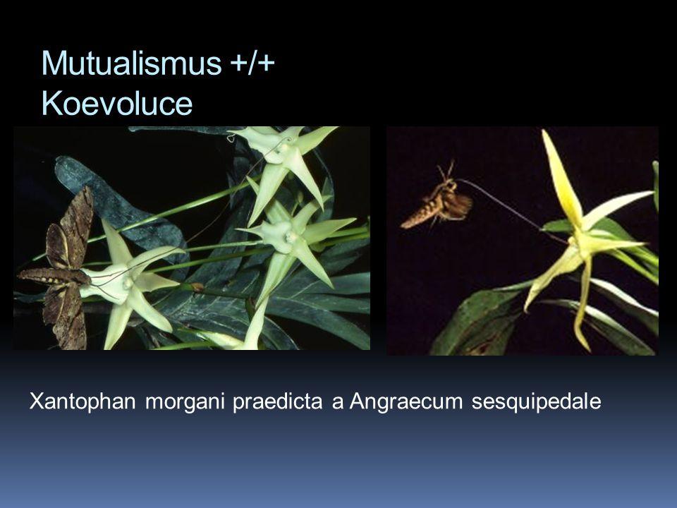 Xantophan morgani praedicta a Angraecum sesquipedale