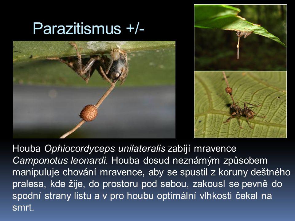 Parazitismus +/- Houba Ophiocordyceps unilateralis zabíjí mravence Camponotus leonardi. Houba dosud neznámým způsobem manipuluje chování mravence, aby