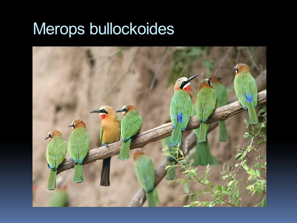 Merops bullockoides