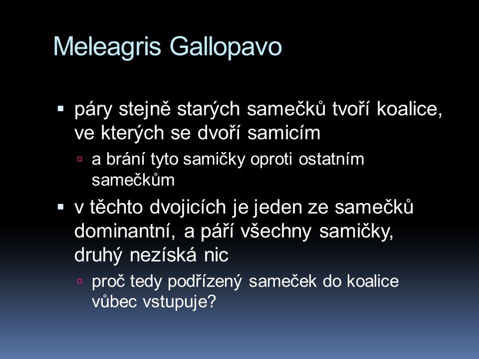 Meleagris Gallopavo  páry stejně starých samečků tvoří koalice, ve kterých se dvoří samicím  a brání tyto samičky oproti ostatním samečkům  v těcht