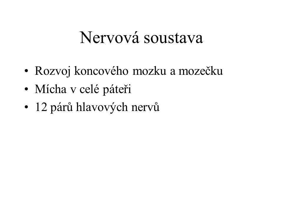 Nervová soustava •Rozvoj koncového mozku a mozečku •Mícha v celé páteři •12 párů hlavových nervů