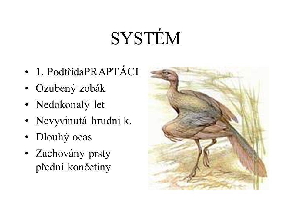 SYSTÉM •1. PodtřídaPRAPTÁCI •Ozubený zobák •Nedokonalý let •Nevyvinutá hrudní k. •Dlouhý ocas •Zachovány prsty přední končetiny