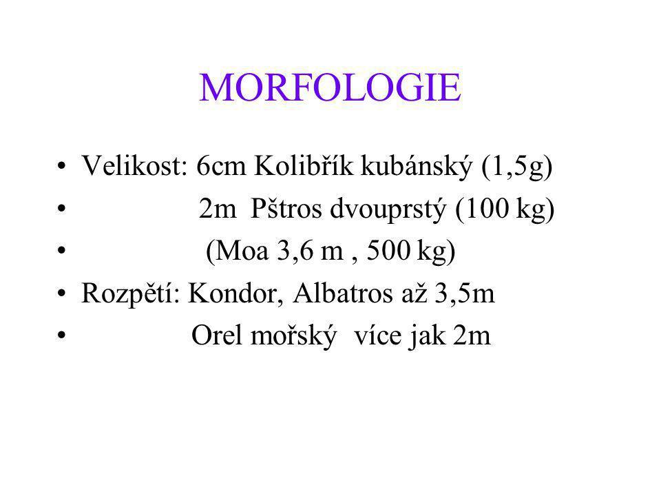 MORFOLOGIE •Velikost: 6cm Kolibřík kubánský (1,5g) • 2m Pštros dvouprstý (100 kg) • (Moa 3,6 m, 500 kg) •Rozpětí: Kondor, Albatros až 3,5m • Orel mořs
