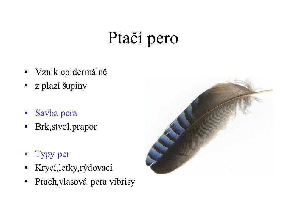 Ptačí pero •Vznik epidermálně •z plazí šupiny •Savba pera •Brk,stvol,prapor •Typy per •Krycí,letky,rýdovací •Prach,vlasová pera vibrisy