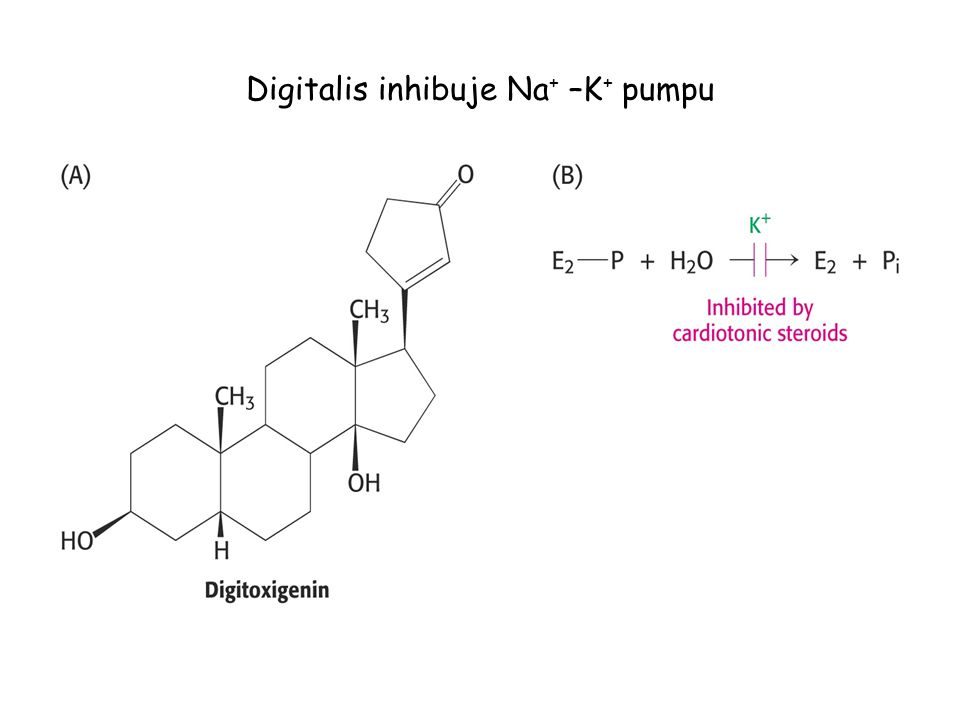 Digitalis inhibuje Na + –K + pumpu