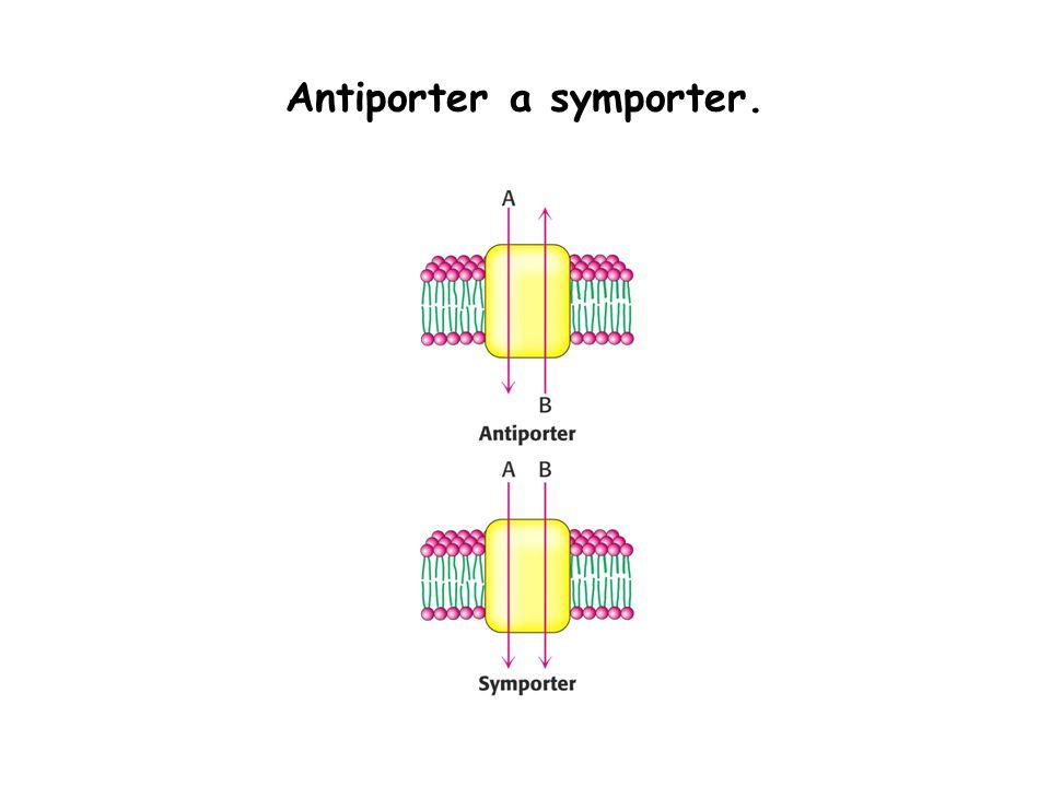Antiporter a symporter.