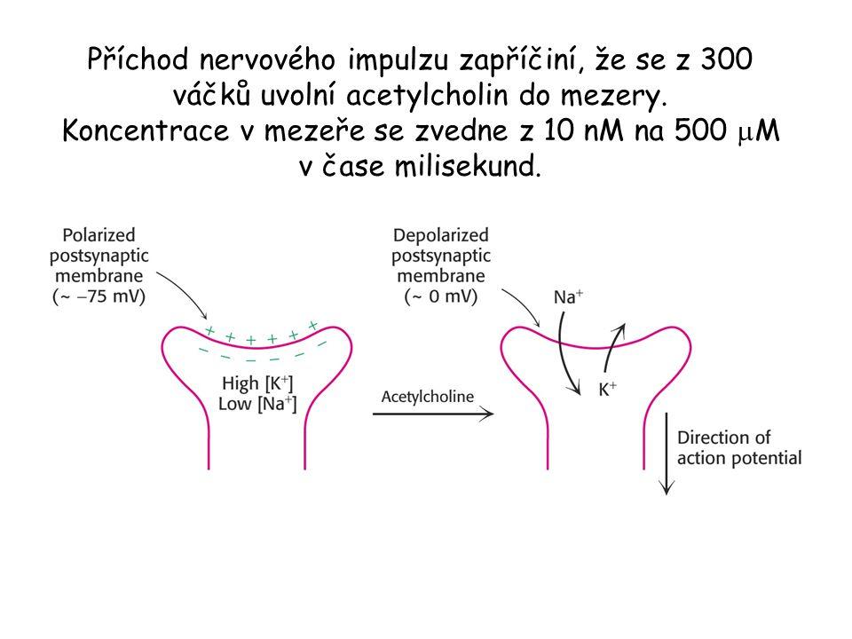 Příchod nervového impulzu zapříčiní, že se z 300 váčků uvolní acetylcholin do mezery. Koncentrace v mezeře se zvedne z 10 nM na 500  M v čase milisek