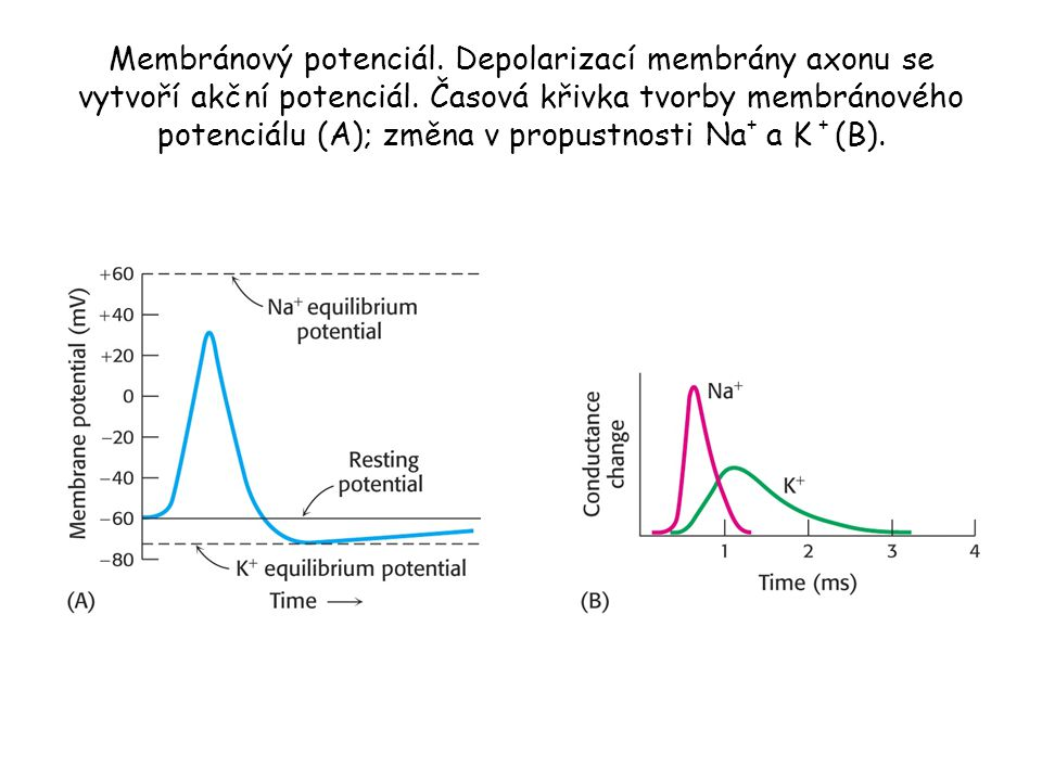 Membránový potenciál. Depolarizací membrány axonu se vytvoří akční potenciál. Časová křivka tvorby membránového potenciálu (A); změna v propustnosti N