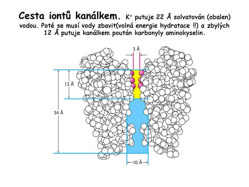 Cesta iontů kanálkem. K + putuje 22 Å solvatován (obalen) vodou. Poté se musí vody zbavit(volná energie hydratace !!) a zbylých 12 Å putuje kanálkem p