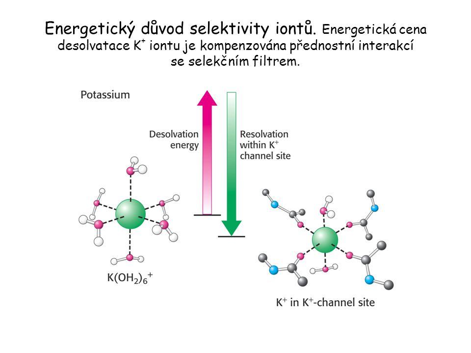 Energetický důvod selektivity iontů. Energetická cena desolvatace K + iontu je kompenzována přednostní interakcí se selekčním filtrem.