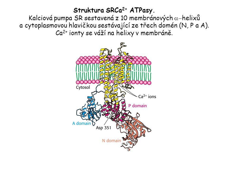 Struktura SRCa 2+ ATPasy. Kalciová pumpa SR sestavená z 10 membránových  helixů a cytoplasmovou hlavičkou sestávající ze třech domén (N, P a A). Ca