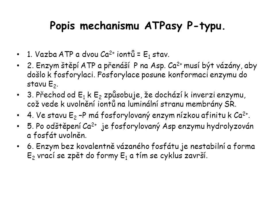 Popis mechanismu ATPasy P-typu.• 1. Vazba ATP a dvou Ca 2+ iontů = E 1 stav.