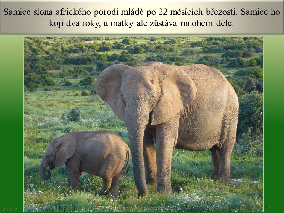 Samice slona afrického porodí mládě po 22 měsících březosti. Samice ho kojí dva roky, u matky ale zůstává mnohem déle. 11 Obr. č. 10 VY_32_INOVACE_19_
