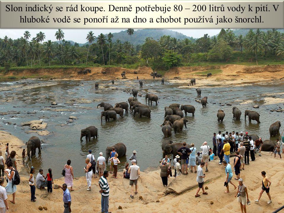 VY_32_INOVACE_ 19 - CHOBOTNATCI14 Obr. č. 13 Slon indický se rád koupe. Denně potřebuje 80 – 200 litrů vody k pití. V hluboké vodě se ponoří až na dno
