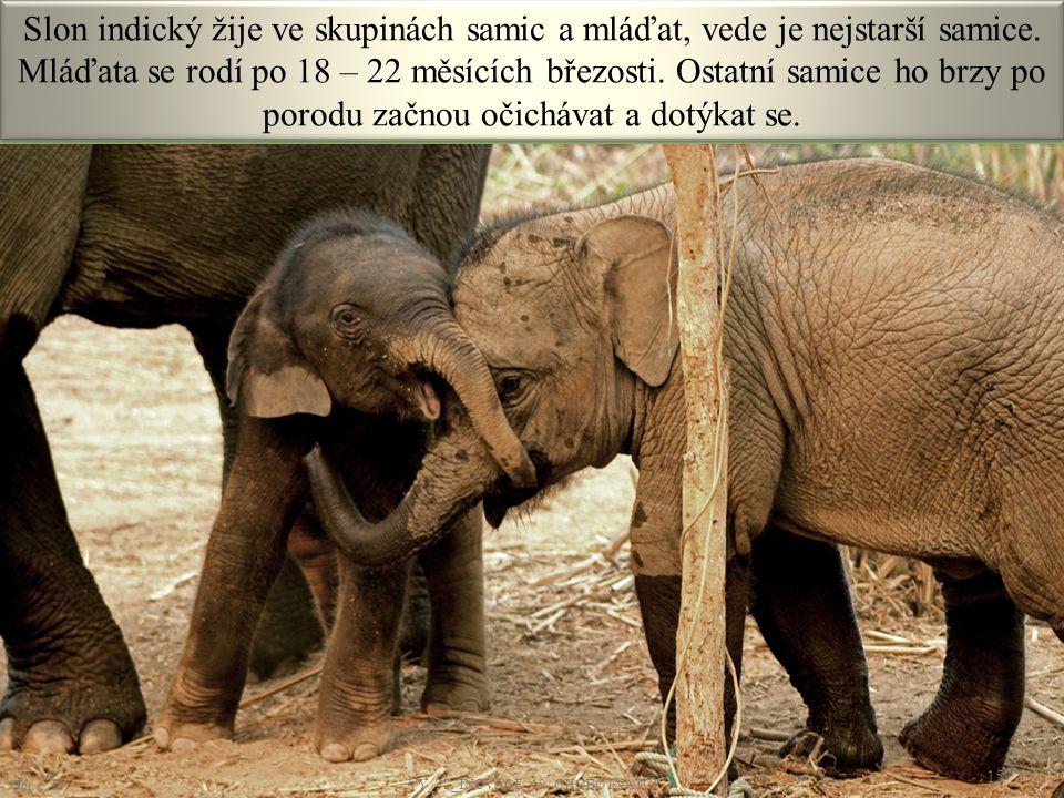 Slon indický žije ve skupinách samic a mláďat, vede je nejstarší samice. Mláďata se rodí po 18 – 22 měsících březosti. Ostatní samice ho brzy po porod