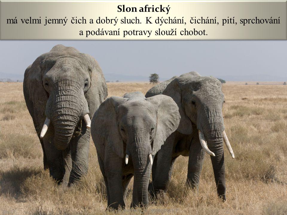 Slon africký má velmi jemný čich a dobrý sluch. K dýchání, čichání, pití, sprchování a podávaní potravy slouží chobot. Obr. č. 5 6 VY_32_INOVACE_19_CH