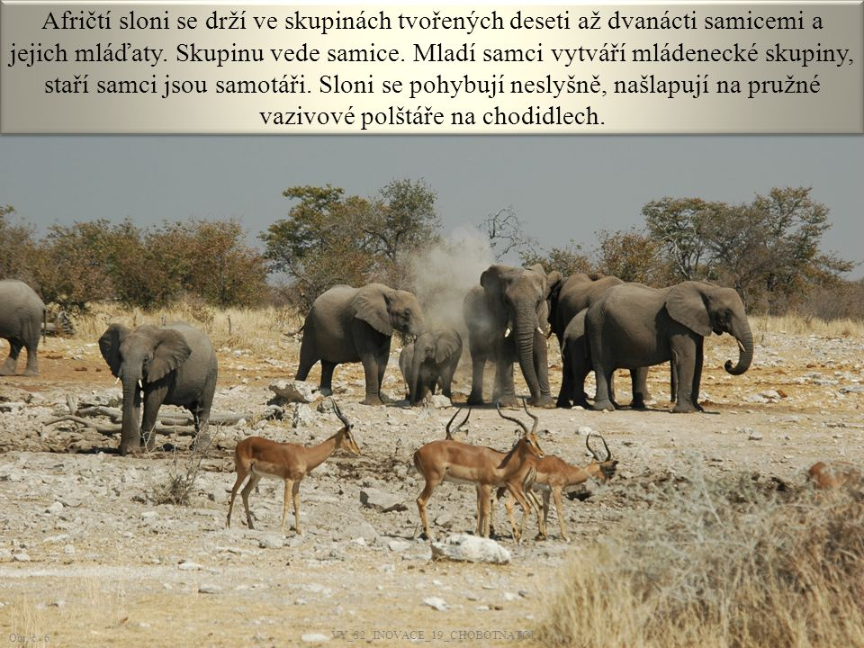 Afričtí sloni se drží ve skupinách tvořených deseti až dvanácti samicemi a jejich mláďaty. Skupinu vede samice. Mladí samci vytváří mládenecké skupiny