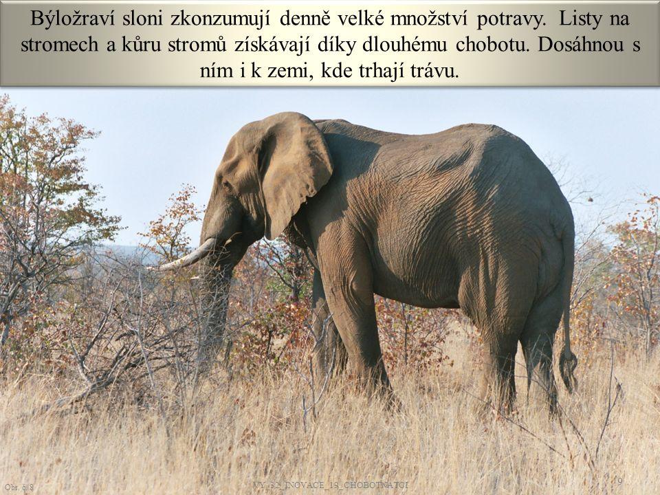 Býložraví sloni zkonzumují denně velké množství potravy. Listy na stromech a kůru stromů získávají díky dlouhému chobotu. Dosáhnou s ním i k zemi, kde