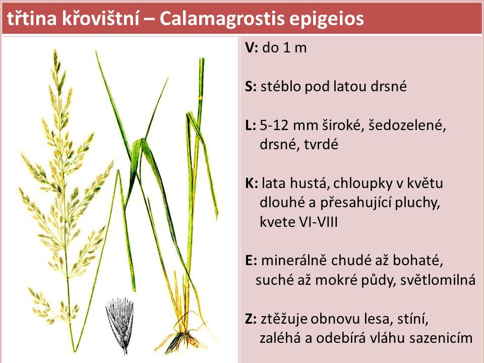 třtina křovištní – Calamagrostis epigeios V: do 1 m S: stéblo pod latou drsné L: 5-12 mm široké, šedozelené, drsné, tvrdé K: lata hustá, chloupky v kv