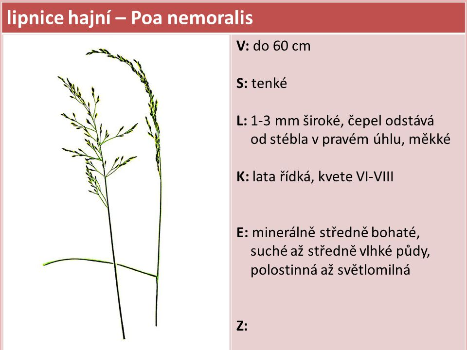 válečka lesní – Brachypodium sylvaticum V: do 1,2 m, trsnatá S: kolénka chlupatá L: 8 mm široké, temně zelené, měkké, listové pochvy chlupaté K: klásky válcovité a dlouze osinaté, květenství převislé, kvete VII-VIII E: minerálně středně bohaté, středně vlhké půdy, polostinná Z: