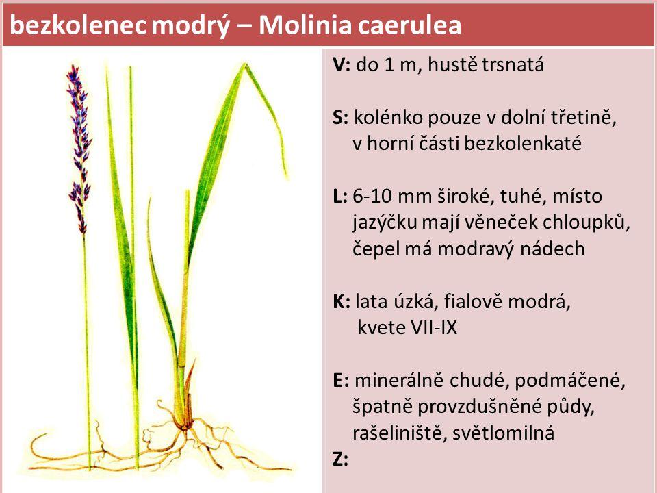 metlička křivolaká – Avenella flexuosa V: do 50 cm, řídce trsnatá S: narůžovělé L: čepel štětinovitá, tmavě zelená, na průřezu 1mm kulatá, snadno se rozemne mezi prsty (měkká), jazýček zřetelný K: klásky hnědočervené, větévky lat zprohýbané, kvete VI-VIII E: minerálně chudé, kyselé, suché až středně vlhké půdy, humusová forma mor, (bory, kyselé doubravy, chudé smrčiny), polostín až světlo Z: