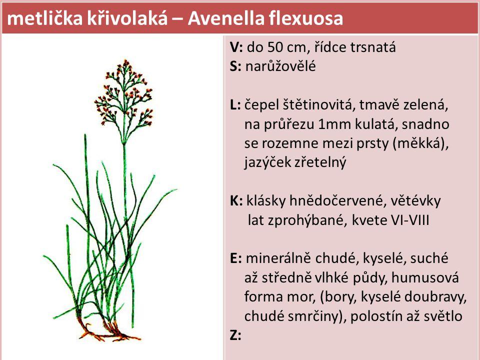 metlice trsnatá – Deschampsia caespitosa V: do 1,5 m, hustě vysoce trsnatá S: L: 3-7 mm široké, tuhé, hluboce podélně rýhované, čepel 60 cm dlouhá K: kuželovitá lata až 30 cm velká, větévky za květu vodorovně odstávající, klásky nafialovělé, kvete VI-IX E: minerálně chudé až středně bohaté, vlhké půdy (oglejené, podmáčené a rašelinné), světlomilná (častá na holinách) Z: obtížná lesní buřeň