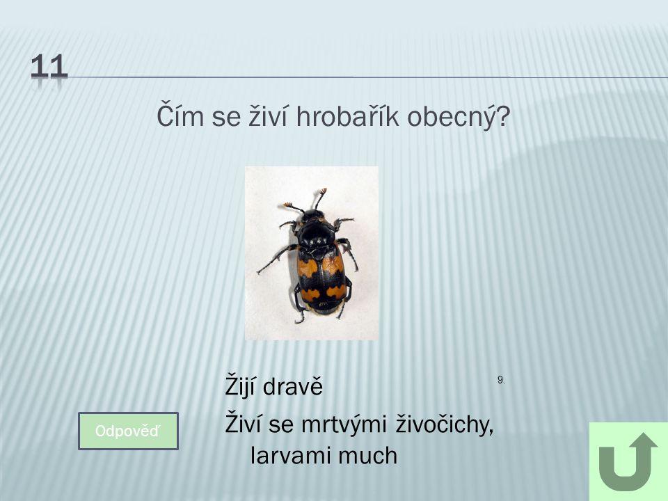 Čím se živí hrobařík obecný? Odpověď Žijí dravě Živí se mrtvými živočichy, larvami much 9.