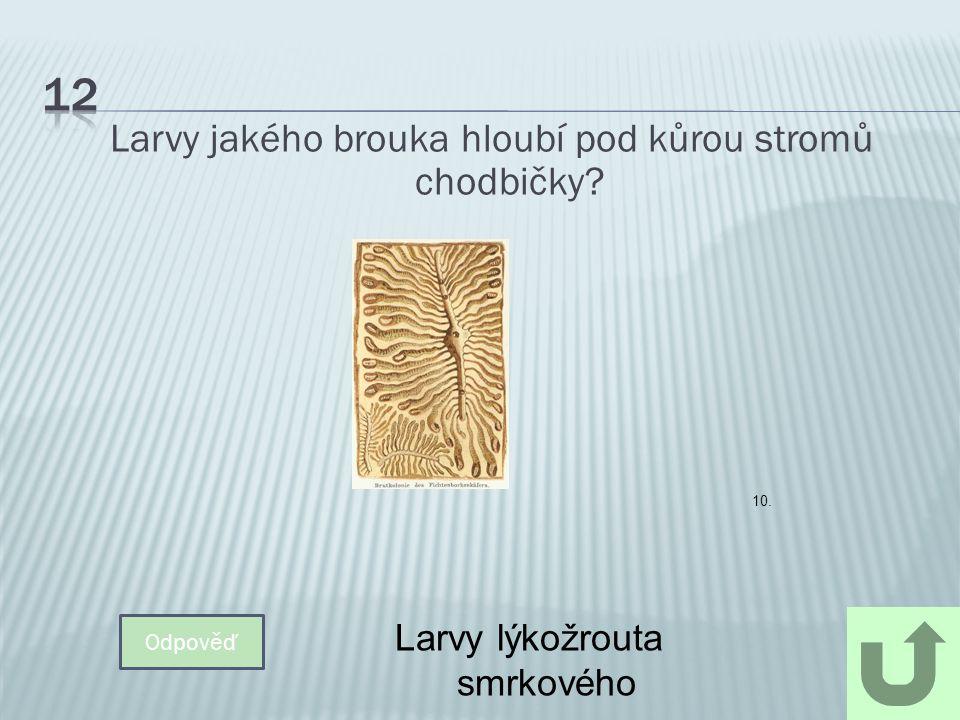 Larvy jakého brouka hloubí pod kůrou stromů chodbičky? Odpověď Larvy lýkožrouta smrkového 10.