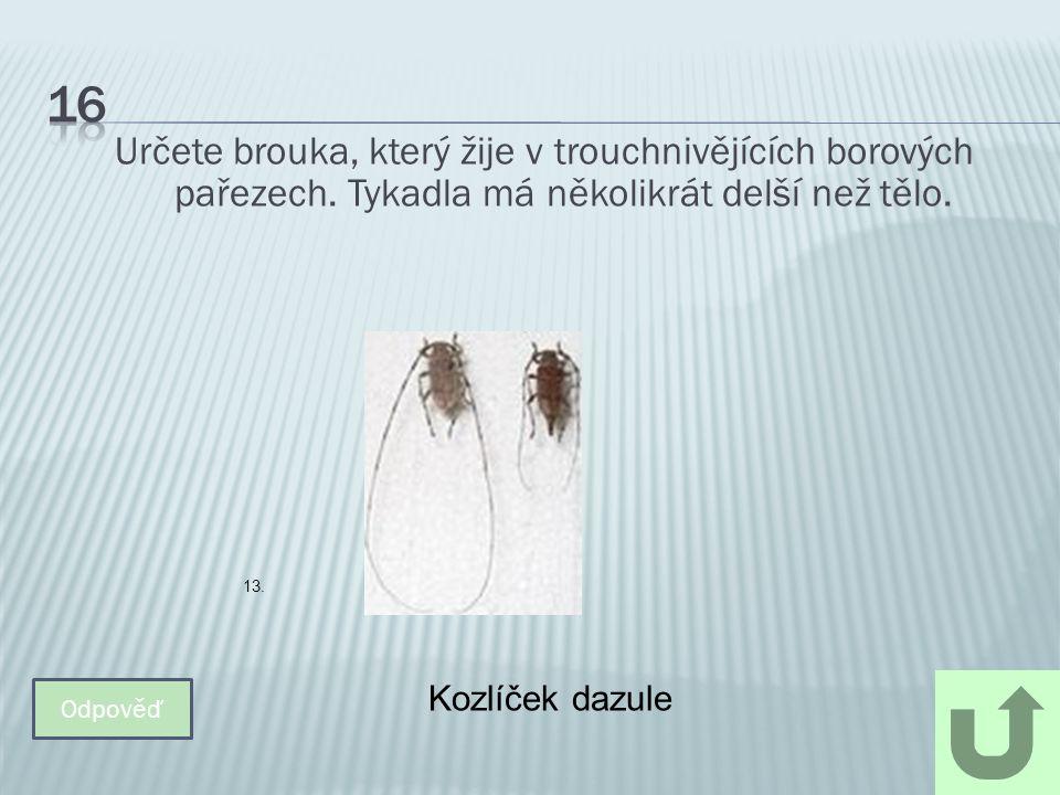 Určete brouka, který žije v trouchnivějících borových pařezech. Tykadla má několikrát delší než tělo. Odpověď Kozlíček dazule 13.