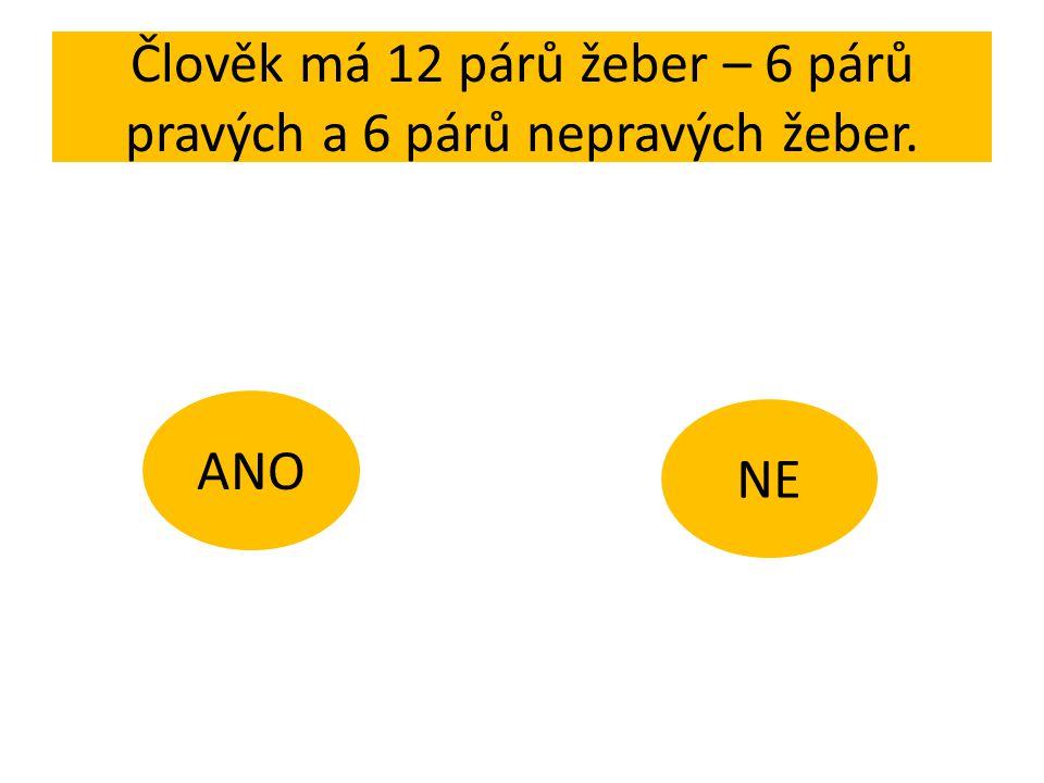 Člověk má 12 párů žeber – 6 párů pravých a 6 párů nepravých žeber. ANO NE