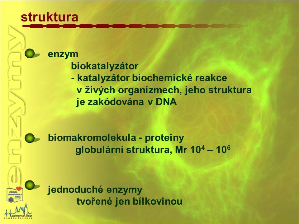enzym biokatalyzátor - katalyzátor biochemické reakce v živých organizmech, jeho struktura je zakódována v DNA biomakromolekula - proteiny globulární