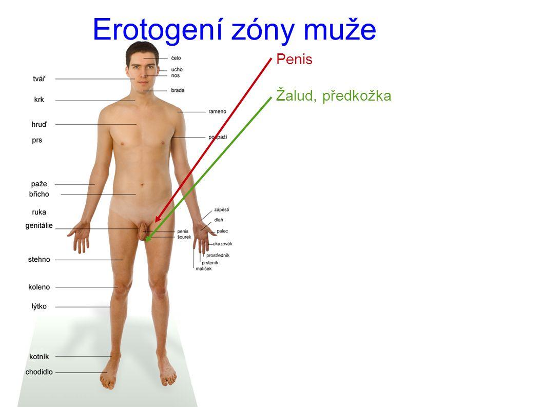 Erotogení zóny muže Penis Žalud, předkožka