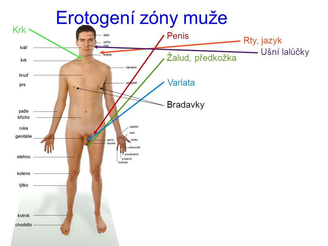 Erotogení zóny muže Penis Žalud, předkožka Varlata Bradavky Rty, jazyk Ušní lalůčky Krk