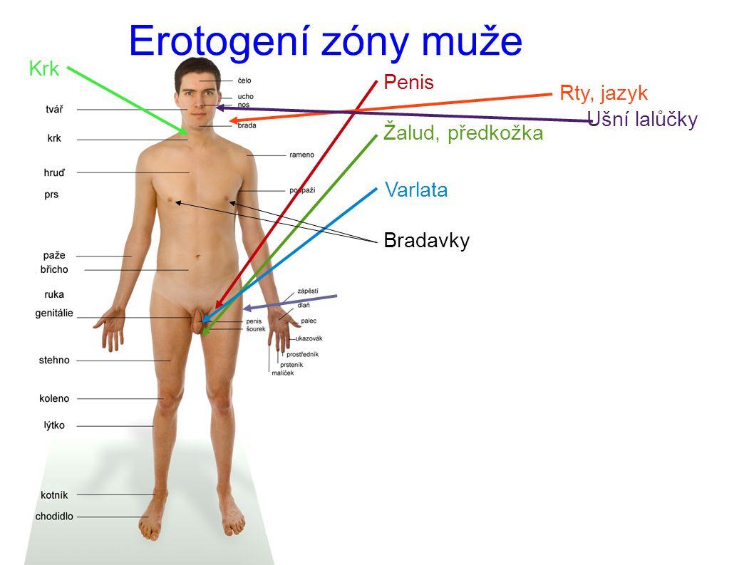 Erotogení zóny muže Penis Žalud, předkožka Varlata Bradavky Rty, jazyk Ušní lalůčky Krk Hýždě (zadek)