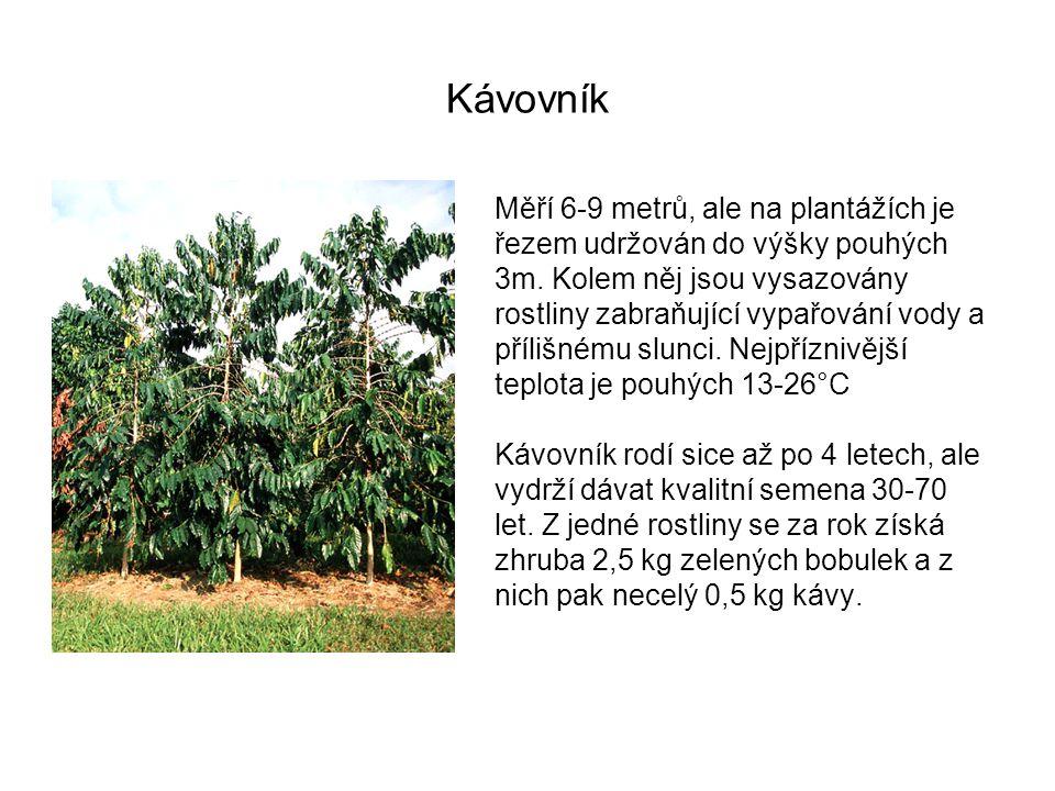 Kávovník Měří 6-9 metrů, ale na plantážích je řezem udržován do výšky pouhých 3m. Kolem něj jsou vysazovány rostliny zabraňující vypařování vody a pří