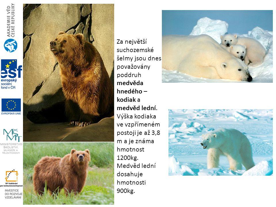 Za největší suchozemské šelmy jsou dnes považovány poddruh medvěda hnedého – kodiak a medvěd lední. Výška kodiaka ve vzpřímeném postoji je až 3,8 m a