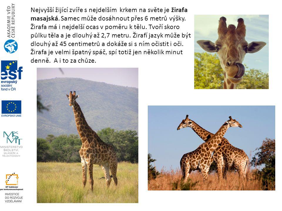 Nejvyšší žijící zvíře s nejdelším krkem na světe je žirafa masajská. Samec může dosáhnout přes 6 metrů výšky. Žirafa má i nejdelší ocas v poměru k těl