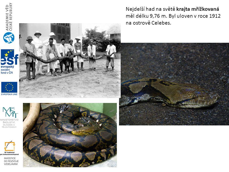 Nejdelší had na světě krajta mřížkovaná měl délku 9,76 m. Byl uloven v roce 1912 na ostrově Celebes.