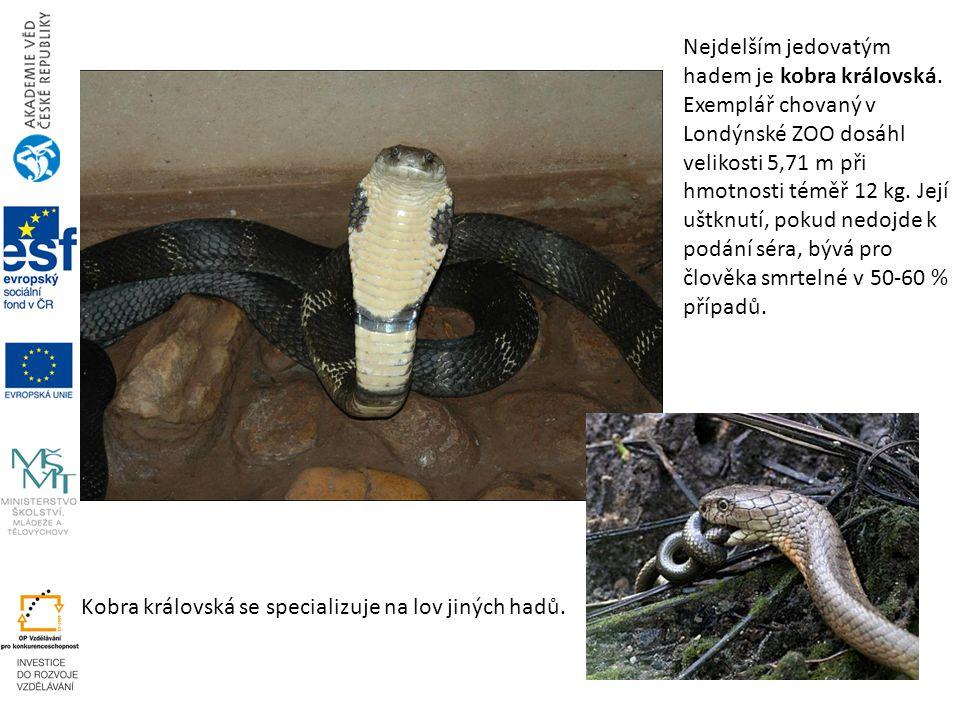 Kobra královská se specializuje na lov jiných hadů. Nejdelším jedovatým hadem je kobra královská. Exemplář chovaný v Londýnské ZOO dosáhl velikosti 5,