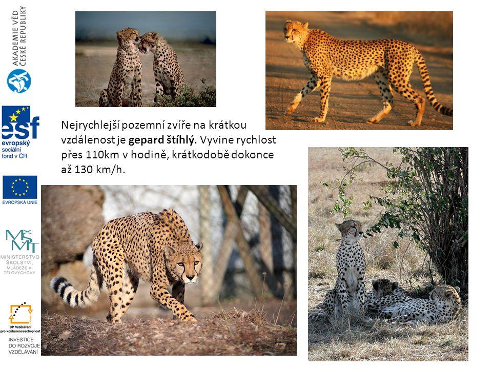 Nejrychlejší pozemní zvíře na krátkou vzdálenost je gepard štíhlý. Vyvine rychlost přes 110km v hodině, krátkodobě dokonce až 130 km/h.