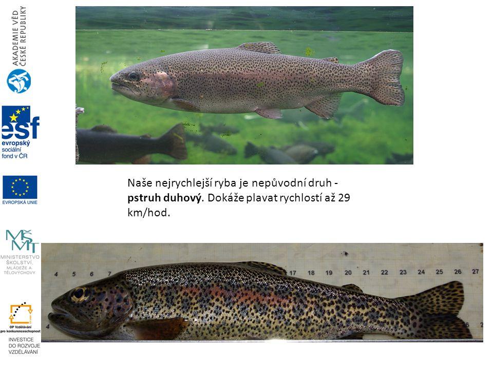 Naše nejrychlejší ryba je nepůvodní druh - pstruh duhový. Dokáže plavat rychlostí až 29 km/hod.